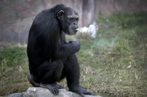 A 19 year old female chimpanzee named Azalea takes a break at a zoo in North Korea.