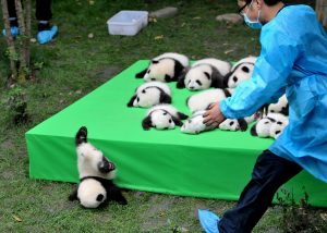 All 29 of the giant pandas born in China this year were trotted out last week so that the public could see them. Not all them, however, could get the hang of being on display.
